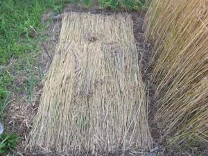 麦敷き2013.6.17.jpg