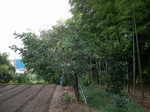 老木の柿剪定2009.8.28-1.JPG