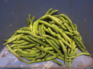 いんげん収穫2012.9.29.jpg
