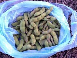だだちゃ豆収穫2018.8.18.jpg