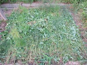 アスパラ草敷き詰め2012.7.18.jpg