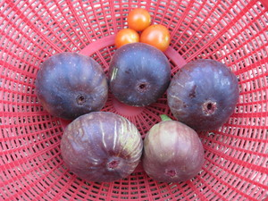 イチジク収穫2012.11.24.jpg