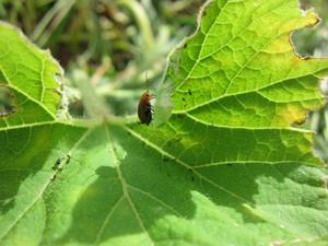 カボチャ虫2012.8.22.jpg