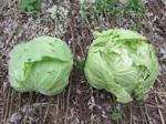 キャベツ収穫2012.6.18.jpg