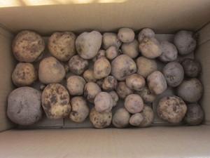 ジャガイモ収穫2015.7.26.JPG