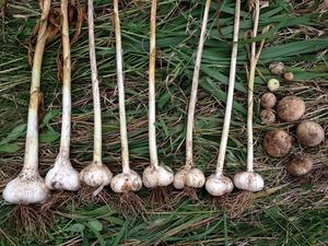 ジャンボニンニク収穫2018.7.3.jpg
