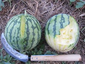 スイカ収穫2012.7.28.jpg