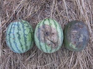 スイカ収穫2012.8.31.jpg