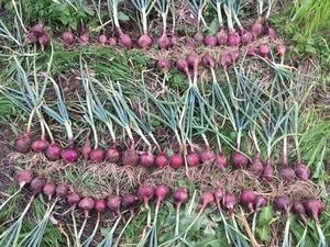 タマネギ収穫.JPG