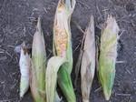 トウモロコシ収穫2011.8.11.jpg