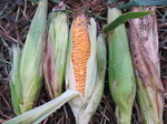 トウモロコシ収穫2011.8.23.jpg