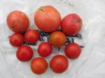 トマト収穫2011.8.23.jpg