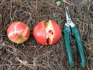 トマト収穫2018.8.16.jpg