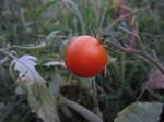 トマト赤い実2011.8.15.jpg