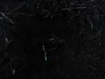 フキ埋め2012.3.13.jpg