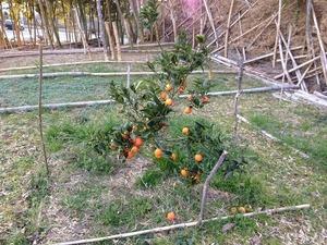 ブラッドオレンジ2019.3.5.jpg