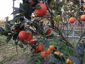 ブラッドオレンジ果実2019.3.5.jpg