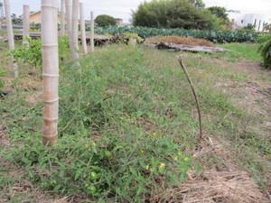 ミニトマト2012.11.3.jpg