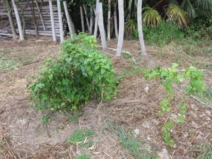 山芋2012.10.12.jpg
