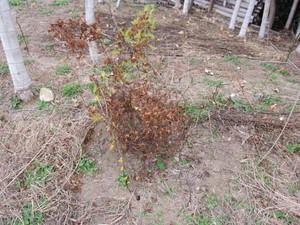 山芋2012.11.5.jpg