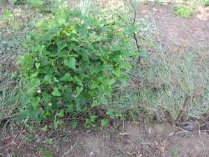 山芋2012.7.23.jpg