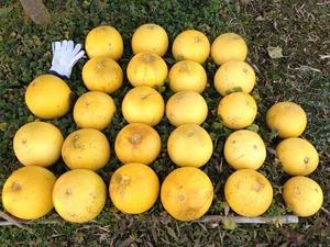 晩白柚収穫2020.2.1.jpg