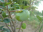 柿の実2010.9.1.JPG