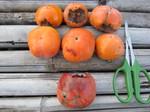 柿収穫2011.9.27.jpg