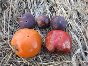 柿収穫2013.9.27.jpg