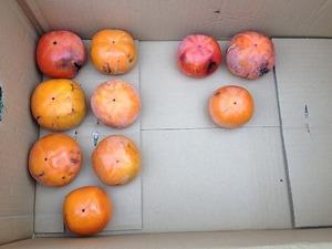 柿収穫2017.10.5.jpg