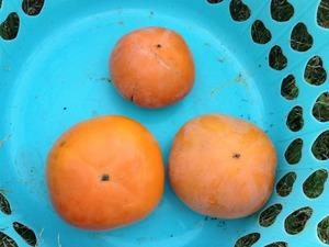 柿収穫2019.10.4.jpg