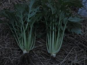 水菜収穫2015.11.1.JPG