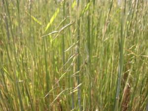 燕麦013.5.24.jpg