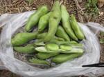 空豆収穫2012.5.23.jpg