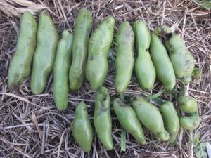 空豆収穫2016.5.13.JPG