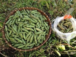 空豆収穫2018.5.26.jpg