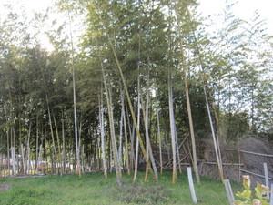 竹林2012.2.11.jpg