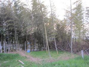 竹林2014.4.5.jpg