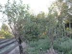 老木の柿2011.9.27.jpg