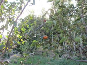 老木の柿2013.9.27.jpg