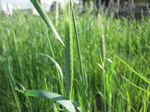 麦の穂2013.4.10.jpg