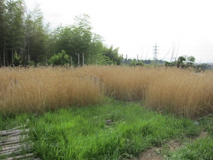 麦畑2013.6.17.jpg