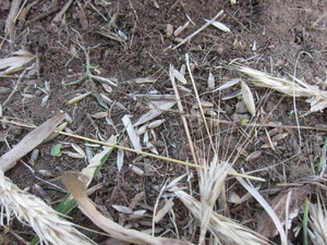 麦種蒔き2013.6.17.jpg