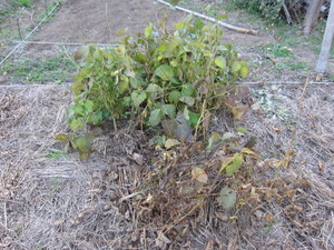 黒豆2012.11.16.jpg