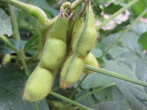 黒豆さや2012.10.12.jpg