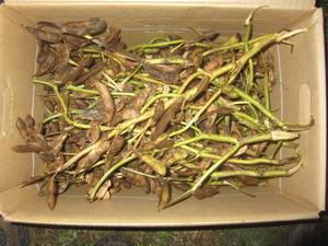 黒豆収穫205.11.28.JPG