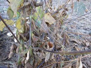 黒豆枯れ2012.11.16.jpg