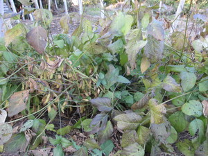 黒豆青々2012.11.16.jpg